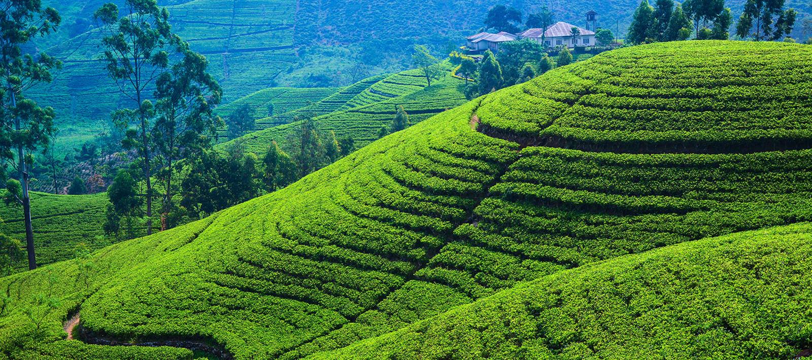 tea fields, sri lanka