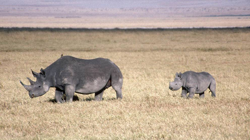 Endangered black rhinos in Ngorongoro Crater