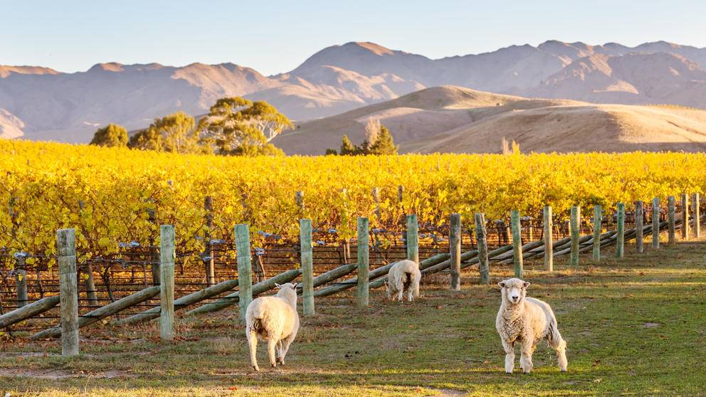 New Zealand Sheep Winery LCT Blog Post